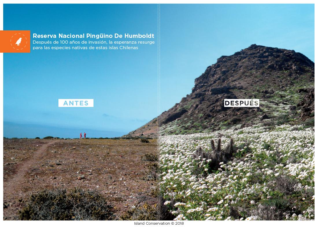 Reserva nacional pinguino de humboldt chile antes y despues Pingüino de Humboldt