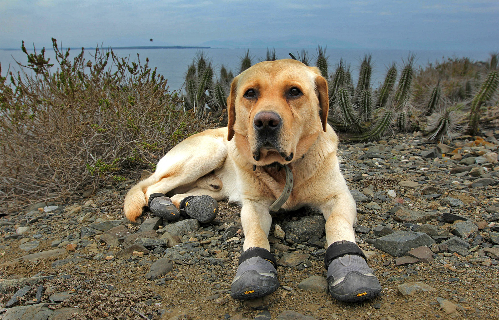island conservation Finn trained dog invasive species chile Pingüino de Humboldt