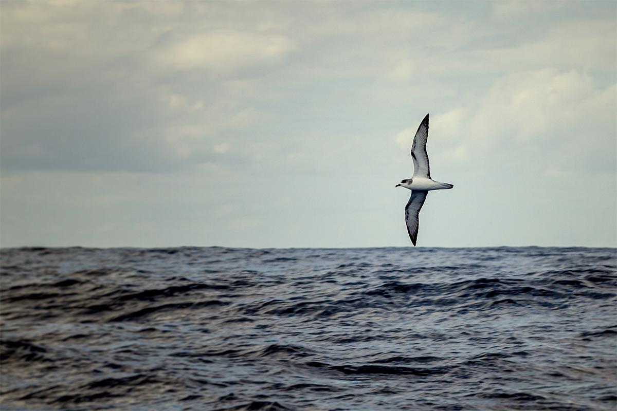 Fardela Blanca, Petrel Juan fernandez Pterodroma externa