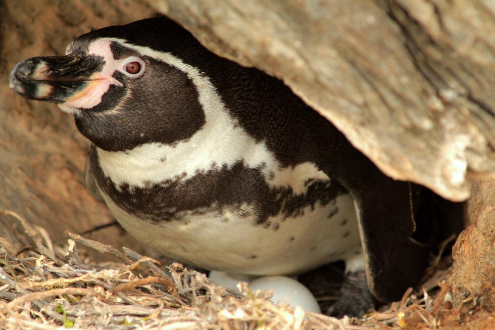 Reserva Nacional Pingüino de Humboldt isla Chañaral