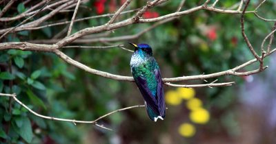 island-conservation-invasive-species-preventing-extinctions-Juan-Fernandez-piqui-fb