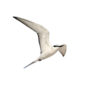 island conservation tern