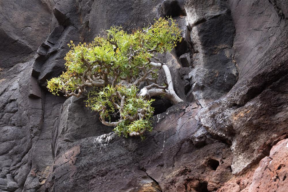 island-conservation Thamnoseris lacerata chile san ambrosio