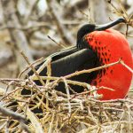 Island Conservation parque nacional galapagos frigatebird seymour norte 2019