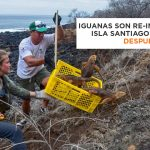 Island conservation conservación de islas Conolophus subcristatus iguana terrestre Galapagos parque nacional Galapagos isla Santiago Seymour norte