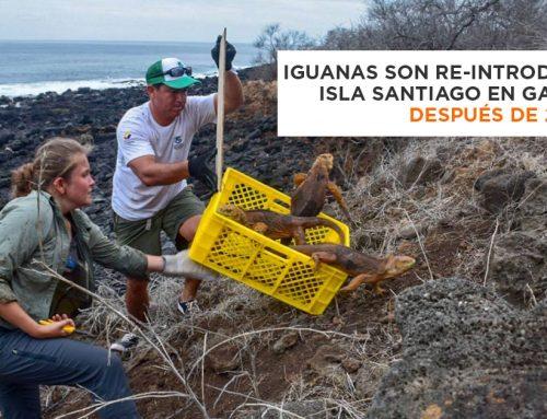 Iguanas Terrestres son re-introducidas a isla Santiago en Galápagos después de 200 años