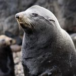 island-conservation-invasive-species-preventing-extinctions-lobo-sealion-juan-fernandez-feat