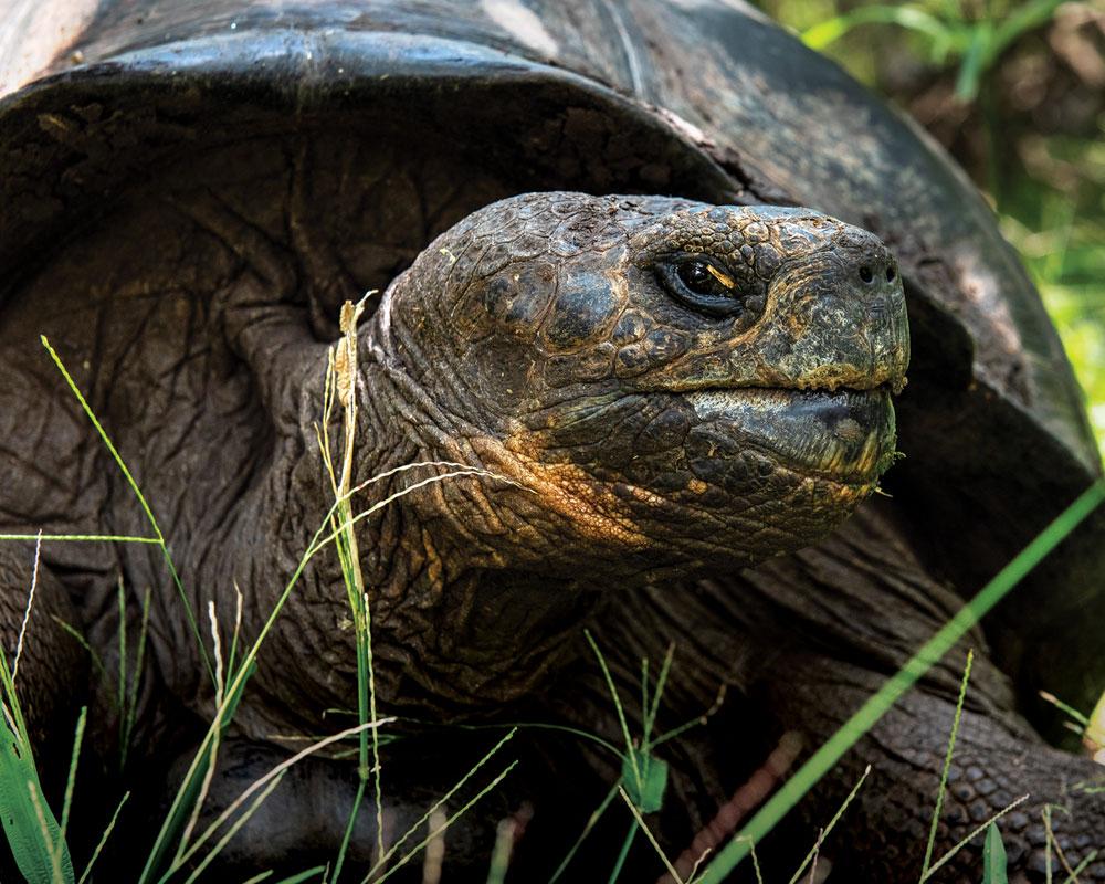 Floreana Giant tortoise galapagos island conservation