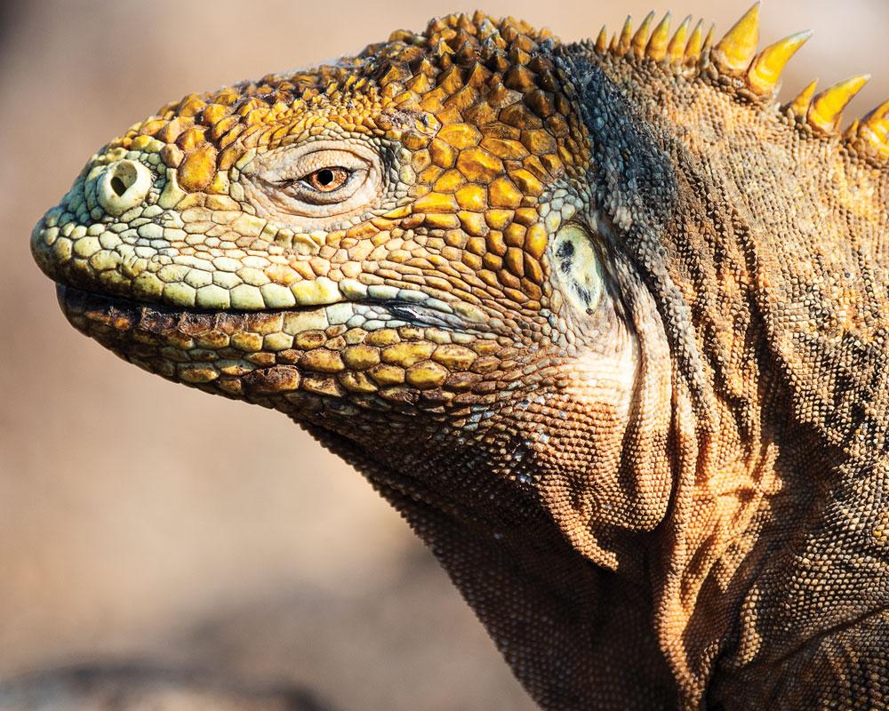 Galapagos-land-iguana-return-santiago-island
