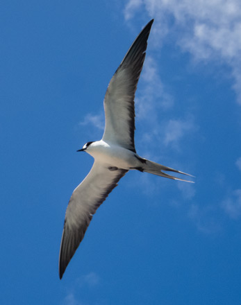 sooty tern marquesas islands conservation