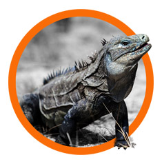 Island-conservation-project-cabritos-island-iguana-title