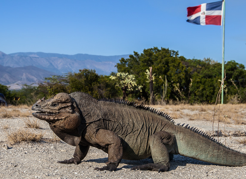 Vulnerable Rhinoceros Iguana, Cabritos Island, Dominican Republic