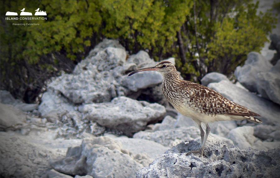 Island-conservation-birdlife-international-angry-birds-6