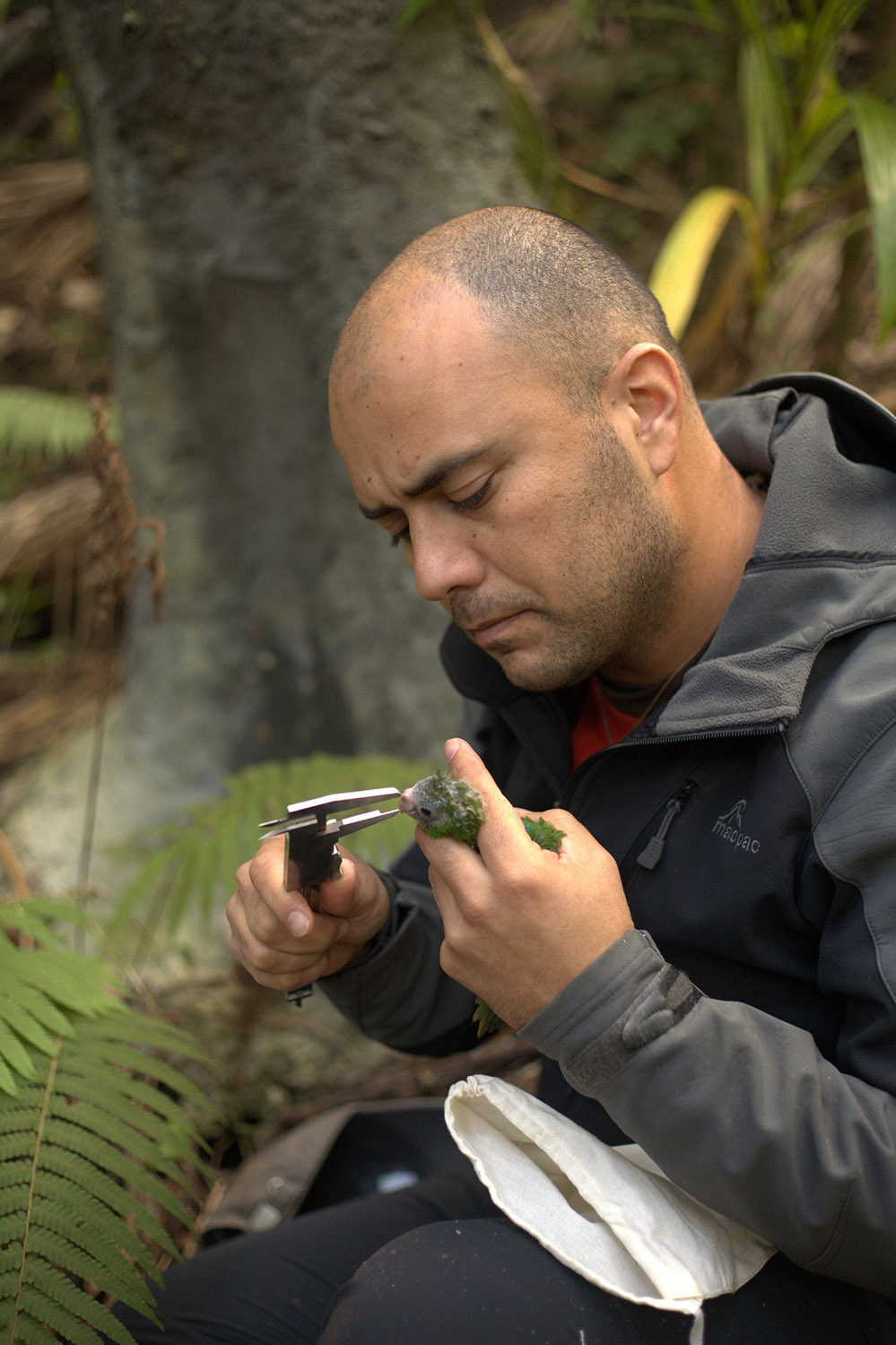 island-conservation-green-parrot-norfolk-island-ray-nias-gallery-5