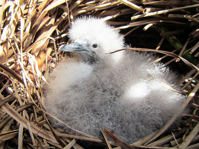 A Murphey's Petrel chick in the Gambiers One of the_19441529164_m