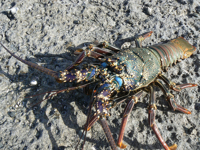 The marine environment and inhabitants, like this Spiny Lobster, will_18623534156_m