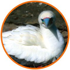 Circle-image-Booby-Lehua-Island-Conservation