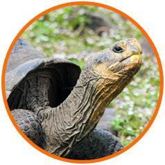 Circle-image-Pinzon-Island-Conservation-Tortoise
