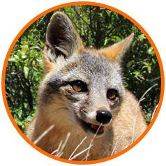 Island Conservation San Nicolas Fox Circle Image