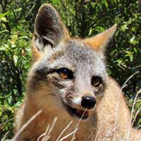 Island-Conservation-San-Nicolas-Island-Fox-California