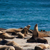 Island-Conservation-San-Nicolas-Species_Sea_Lion