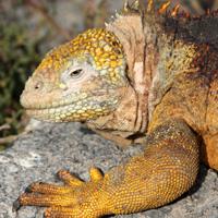 Land-Iguana-Island-Conservation