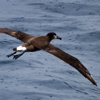 Lehua-Island-Conservation-Hawaii-Black-footed-Albatross