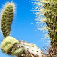 Opuntia-Cactus-Island-Conservation