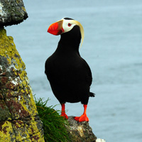 Tufted Puffin_Island Conservation_USFWS_Marc_Romano