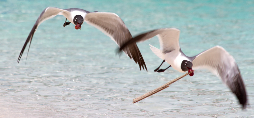 island-conservation-allen-cay-laughing-seagulls-bahamas