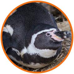 island-conservation-choros-penguin-