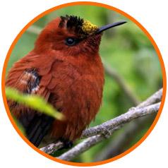 island-conservation-juan-fernandez-chile-featured-image-humingbird