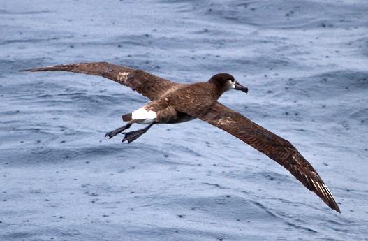 Lehua island Hawaii project black footed albatross