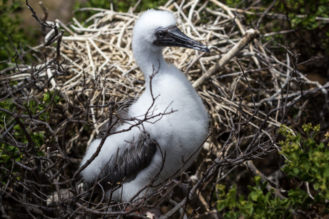 Lehua Island Red-Footed Booby
