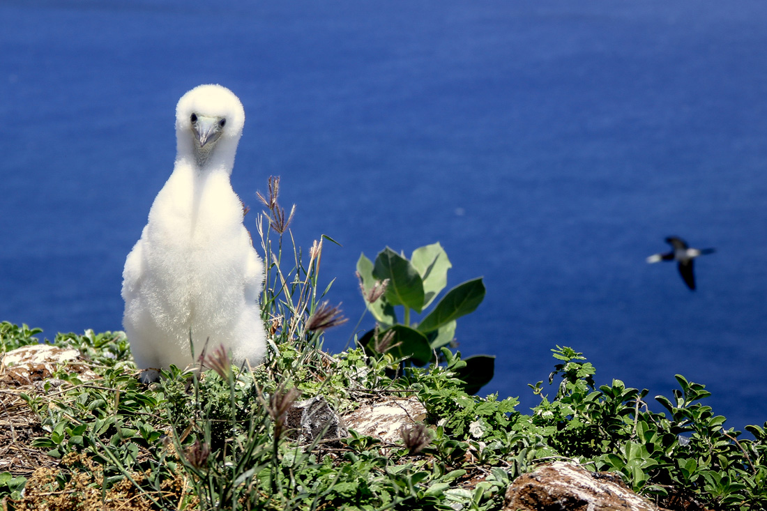 Lehua Island Red-Footed Booby Chick