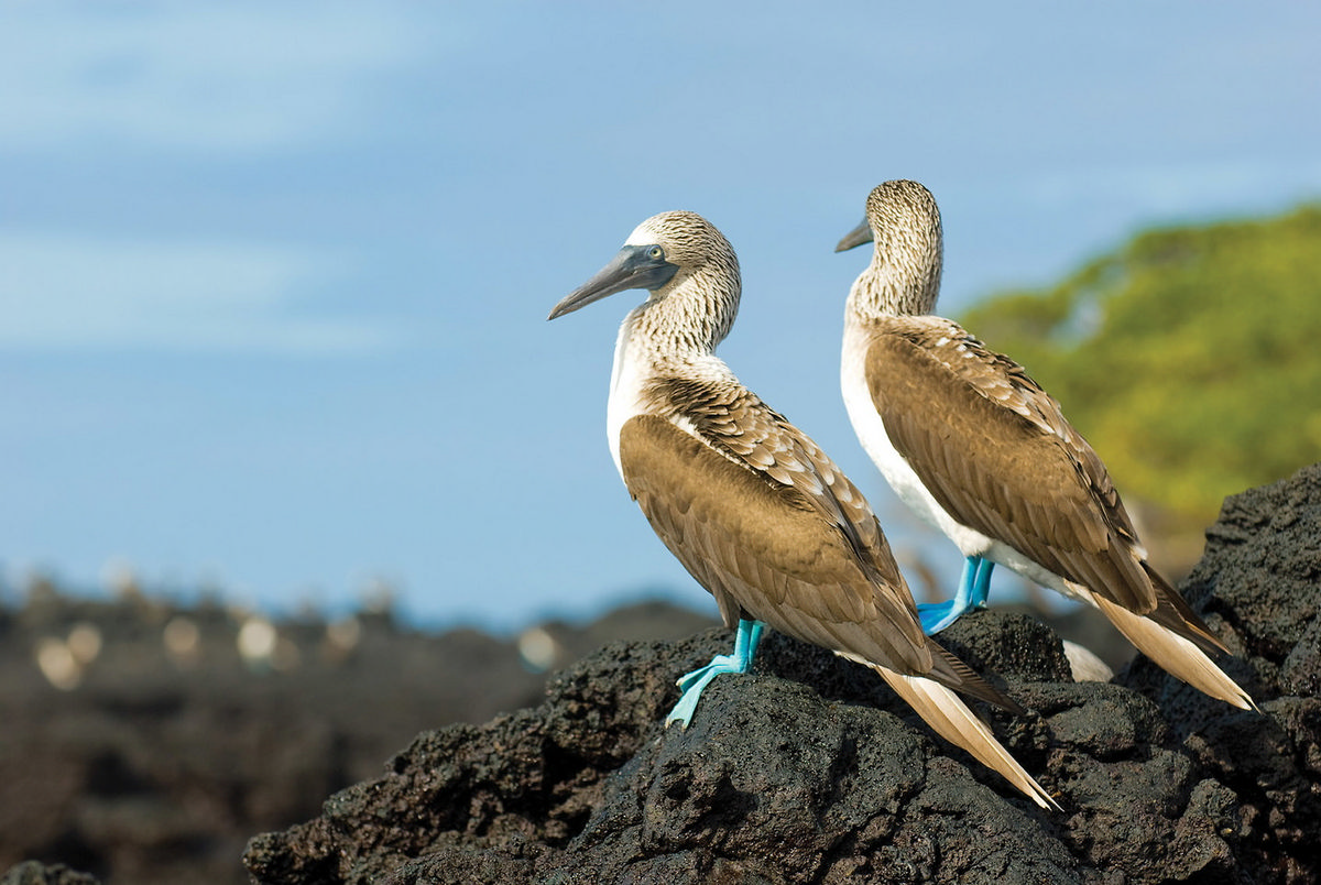 1-baltra-silversea-galapagos-cruise-blue-footed-booby