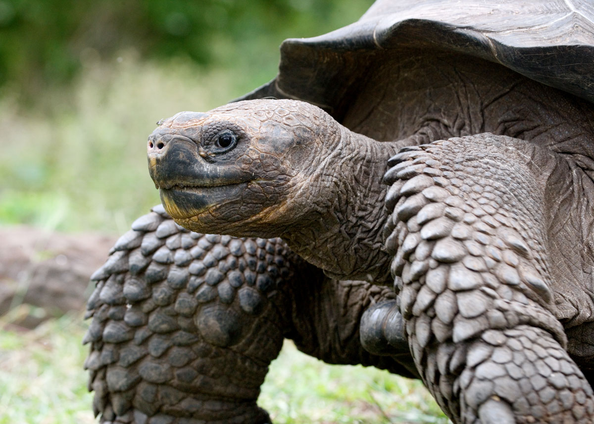 Giant-Galapagos-Tortoise-Facts