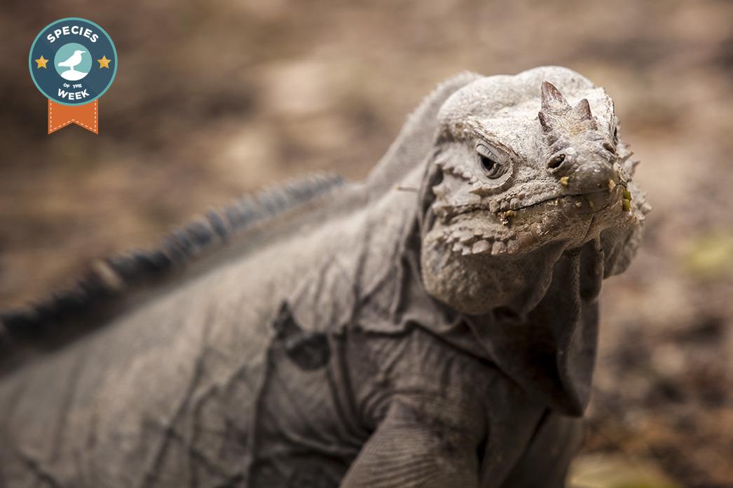 island conservation - cabritos island - rhinoceros iguana - dominican republic
