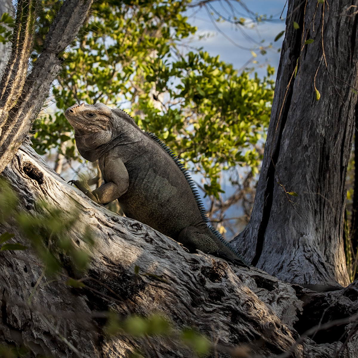 island conservation rhinoceros iguana cabritos island dominican republic