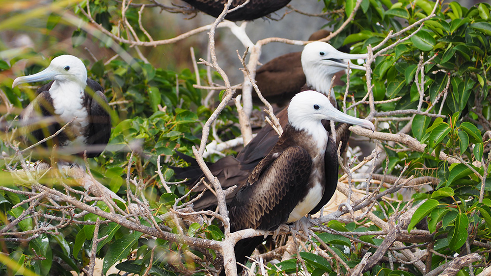 Magnificent Frigatebirds nesting on Ficus Tree. Credit: Salina Janzan_FFI
