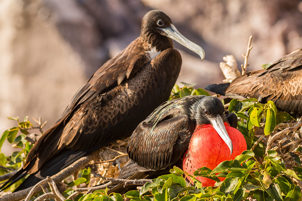 Magnificent frigatebirds at nest. Credit: Ed Marshall