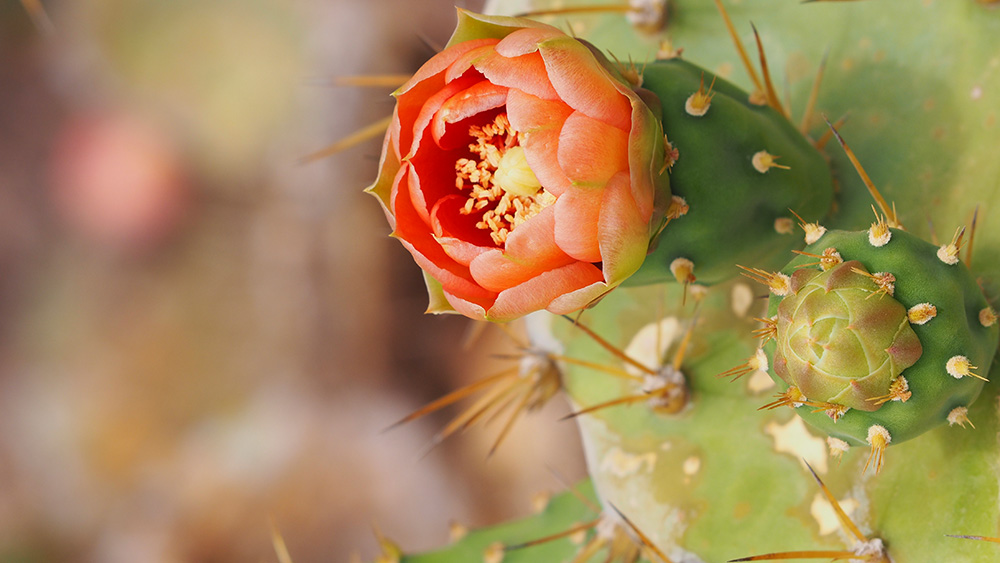 Flowering Prickly Pear Cactus on Redonda. Credit: Salina Janzan_FFI