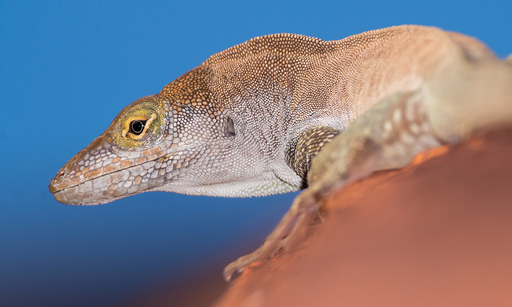 Redonda tree lizard. Credit: Ed Marshall