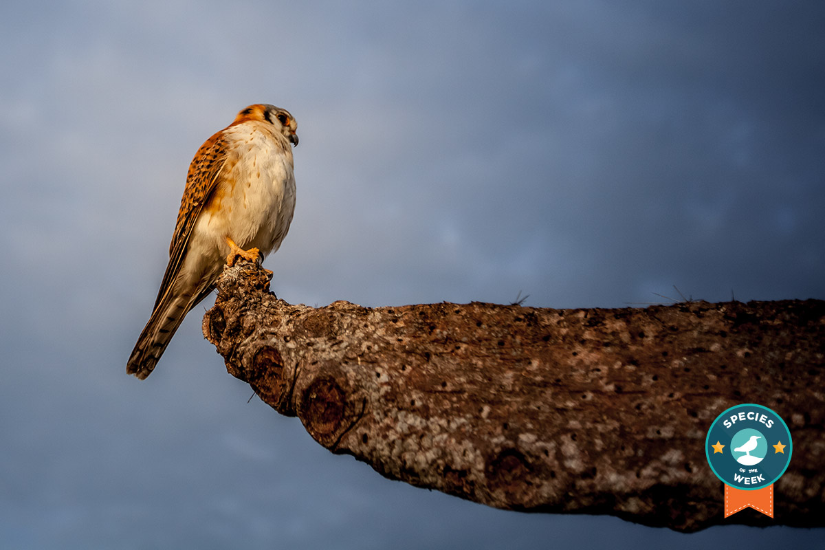 Island conservation science american kestrel Falco sparverius cabritos island dominican republic