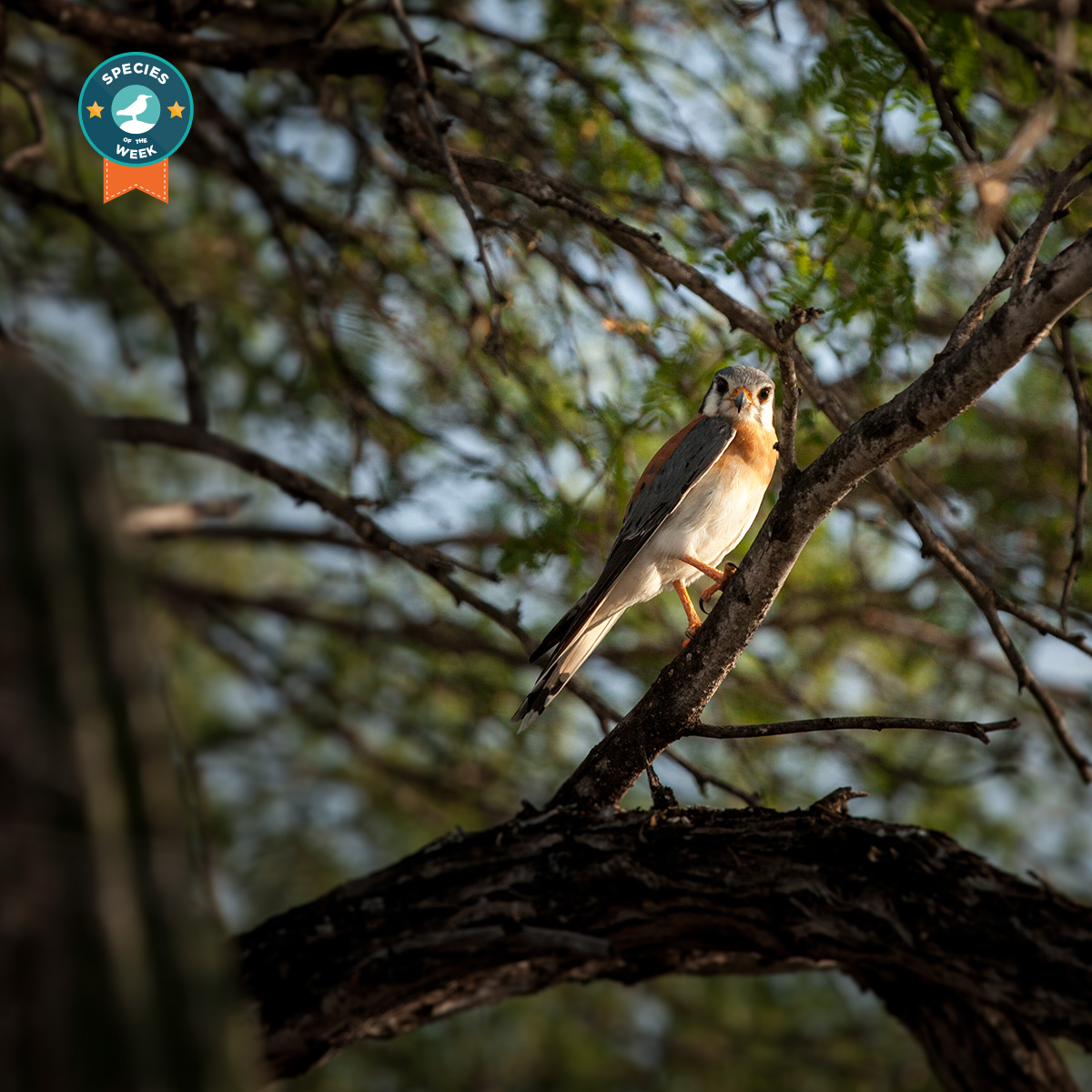 The American Kestrel is known for its exceptional eyesight.