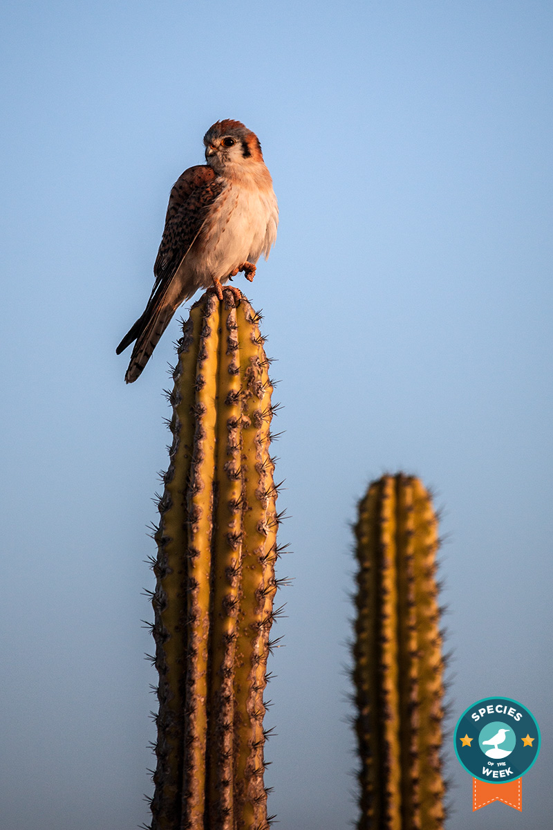 The American Kestrel can even catch winged prey in mid-air.
