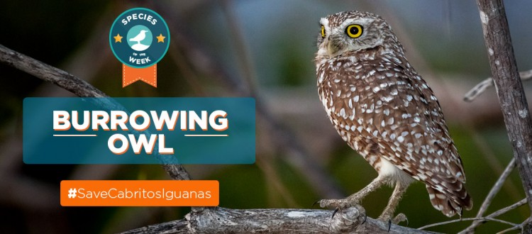 Island Conservation science cabritos island burrowing owl dominican republic Athene cunicularia