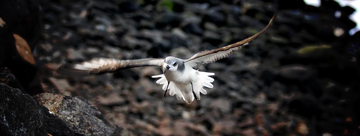 island conservation science desventuradas chile