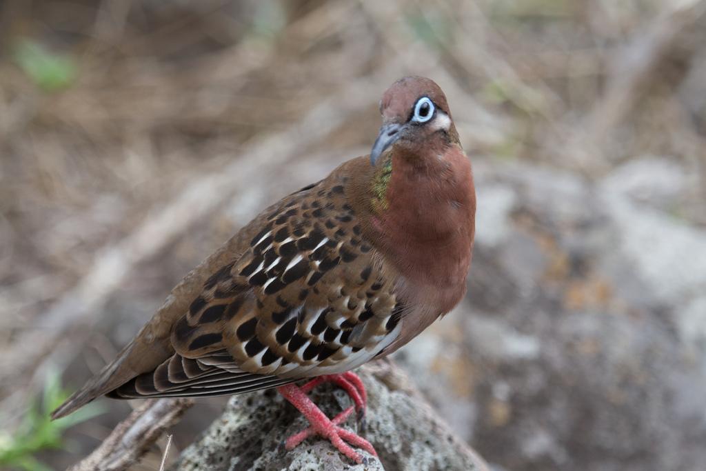 island-conservation-science-galapagos-pinzon-ecuador- (3)