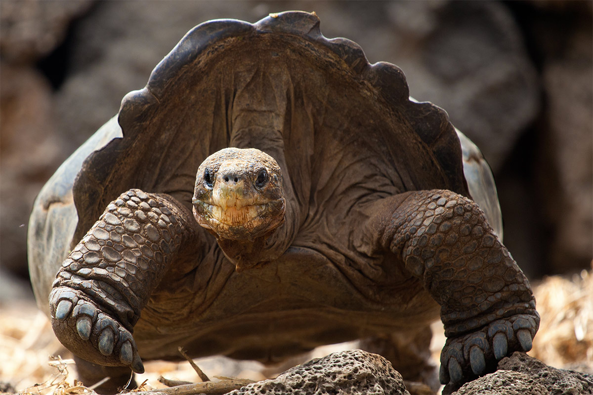 Island Conservation Giant Tortoise Galapagos